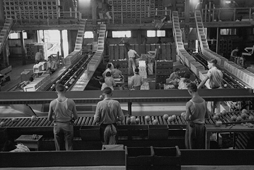 Arthur Rothstein. Packing fruit in the packinghouse at Fort Pierce, Florida, January 1937. Library of Congress Prints and Photographs Division, FSA/OWI Black & White Negatives Collection, LC-USF33-002342-M5.