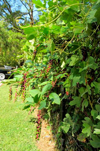 Allison O. Adams, Kudzu and pokeweed in grocery store parking lot, Decatur, Georgia, 2011.