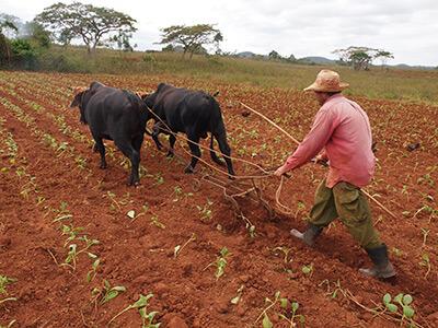 Charles D. Thompson, Jr., Farmer cultivates young tobacco in a field, near Viñales, Pinar del Rio, Cuba, 2011.