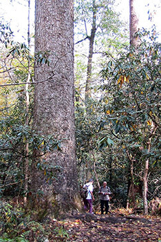 Brian Stansberry, Visitors stand next to a 400-year-old tree at the Joyce Kilmer Memorial Forest in Graham County, North Carolina, October 2010.