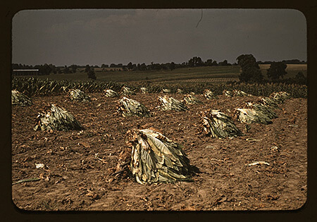 Marion Post Wolcott, Burley tobacco is placed on sticks to wilt after cutting, before it is taken into the barn for drying and curing on the Russell Spears' farm, vicinity of Lexington, Kentucky, 1940.