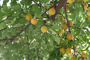 Mary E. Frederickson, Ripe apricots on trees in the factory courtyard, Margilan, Uzbekistan, 2006.
