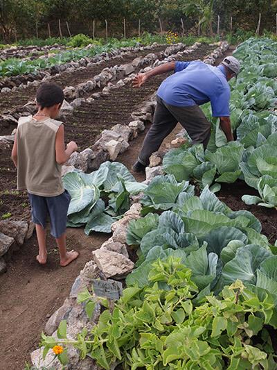 Charles D. Thompson, Jr., Pedro Rodriguez Pérez harvests cabbage as his grandson looks on. Trinidad, Cuba, 2010.