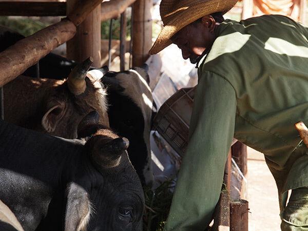 Charles D. Thompson, Jr., Vívero Alamar, a cooperative farmer, feeds the oxen after a morning's work. Trinidad?, Cuba, December 2010.