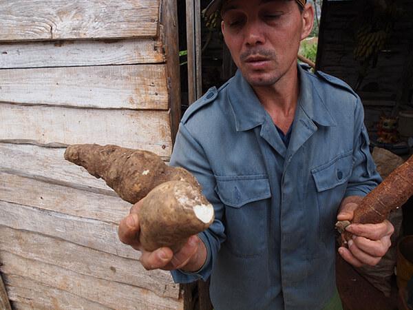 Charles D. Thompson, Jr., Casava grown and shown by farmer Noél Parrapito. Viñales, Cuba, January 2011.