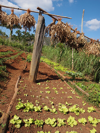 Charles D. Thompson, Jr., A small vegetable patch in Pinar del Rio, Cuba, January 2011.