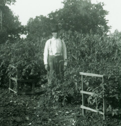 Arthur Keller, Man standing among tomato plants, early 20th century, Mountain Home, Baxter County, Arkansas, Keller-Butcher Collection, University of Central Arkansas Archives.