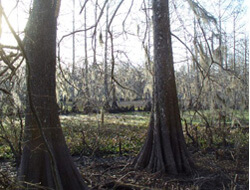 Fosse Pointe Cypress Swamp, Lake Fosse Pointe State Park, Louisiana, 2009.