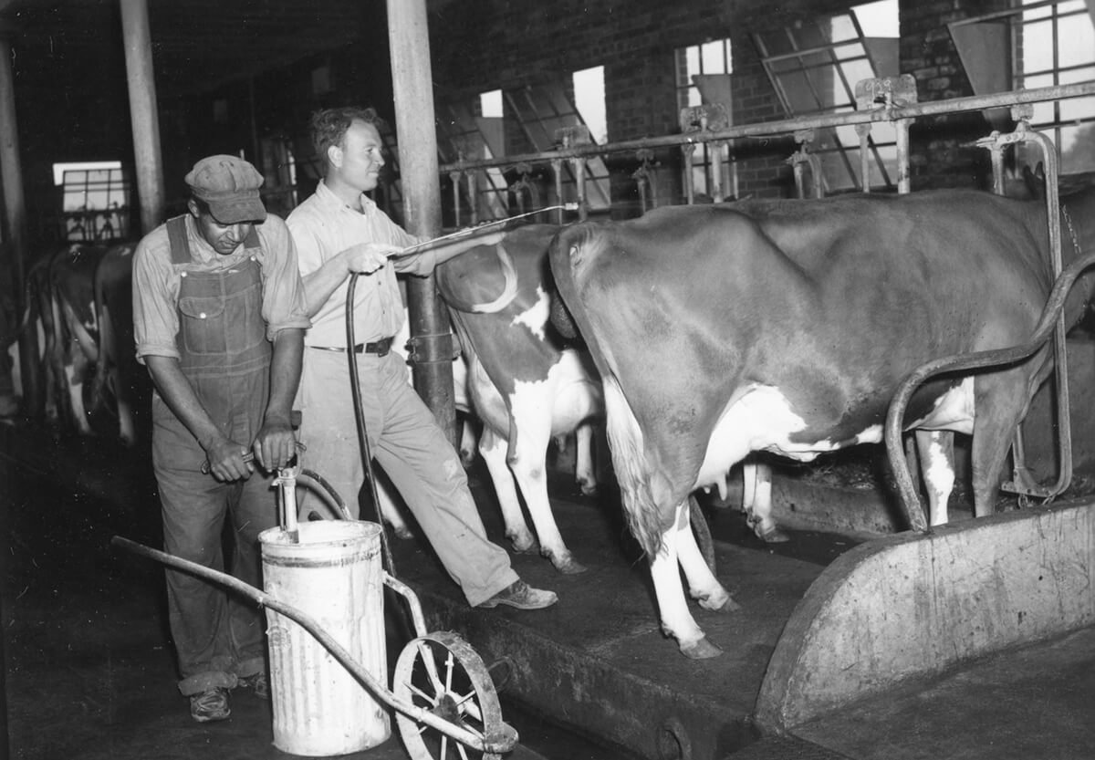 Men spraying cattle with DDT, October 12, 1950. Photograph by unknown creator. Image courtesy of North Carolina State University Special Collections Research Center, d.lib.ncsu.edu/collections/catalog/ua100_099-002-cb0002_009-4688-002.
