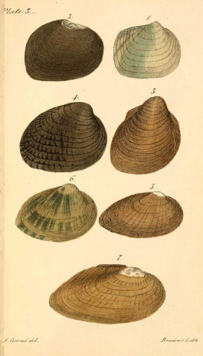 Plate 3, 1834. Colored illustration by T. A. Conrad. Originally published in T. A. Conrad's New Fresh Water Shells of the United States (Philadelphia, Pennsylvania: Judah Dobson, 1834). Courtesy of Smithsonian Libraries, archive.org/details/newfreshwatershe00conr. Illustration depicts freshwater mussel shells mostly collected from rivers and streams in Alabama.