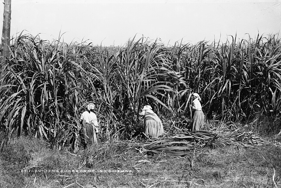 Cutting sugar cane in Louisiana, ca. 1880–1897. Photograph by William Henry Jackson. Courtesy of  Detroit Publishing Company Photograph Collection. Library of Congress Prints and Photographs Division Washington, DC.