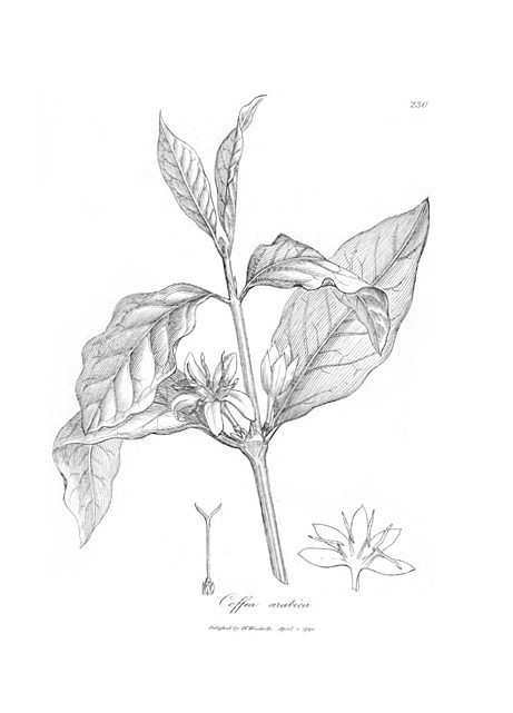 Botanical illustration of coffea arabica, 1794. Courtesy of Wikimedia Commons. Image is in public domain.