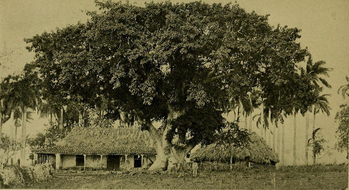 Coffee Plantation, Puerto Rico, 1899. Originally published in Frederick A. Ober, Puerto Rico and Its Resources (New York: D. Appleton and Co., 1899). Photograph uploaded by Flickr user Internet Archive Book Images. Image is in public domain.