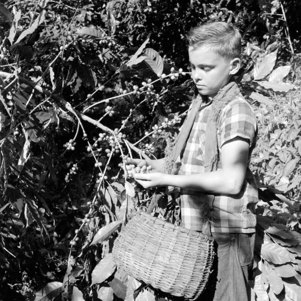 Puerto Rico, boy harvesting coffee beans on plantation in Utuado. Photograph by Clarence Woodrow Sorensen and Eugene V. Harris. Courtesy of the American Geographical Society Library, University of Wisconsin-Milwaukee Libraries.
