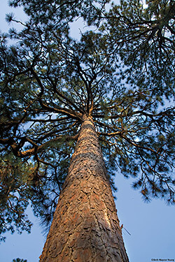 The distinctive shape of a mature longleaf, Weymouth Woods-Sandhills Nature Preserve, Southern Pines, North Carolina. Photograph by Beth Maynor Young. Reproduced by permission of the University of North Carolina Press.