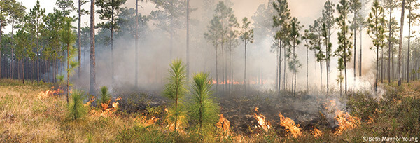 A manageable fire in a regularly burned longleaf area, Blackwater River State Forest, Milton, Florida. Photograph by Beth Maynor Young. Reproduced by permission of the University of North Carolina Press.