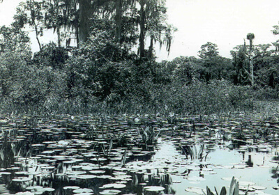 Francis Harper, Cypress head and water lilies on Chase Prairie, Okefenokee Swamp, May 1912.