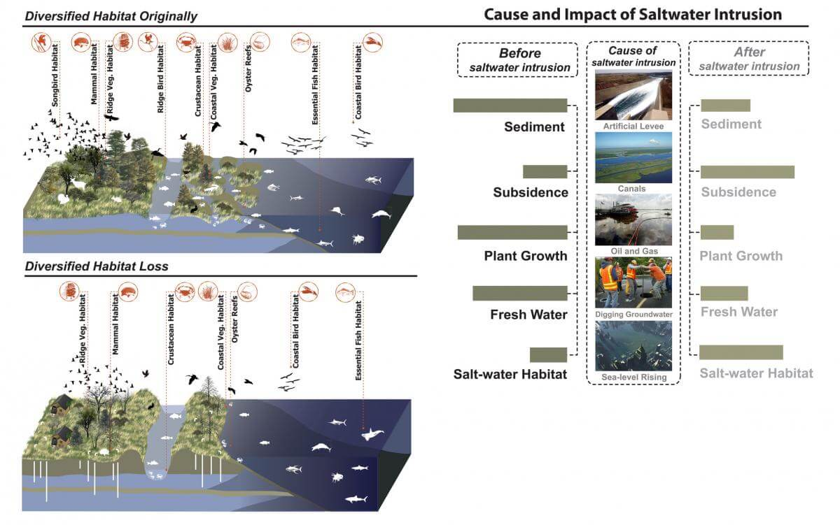 Impact of Salt Water Intrusion, March 25, 2011. Image created by Wikimedia user Hui Tian as part of an assignment for the Wikipedia Ambassador Program. Creative Commons license CC BY-SA 3.0. Saltwater intrusion is the movement of saline water into freshwater aquifers, resulting in diversified habitat loss and land subsidence. Most often, it is caused by ground water pumping from coastal wells, artificial levees, or from the construction of navigation channels or oil field canals that provide conduits for salt water to reach fresh water marshes. Salt water intrusion can also occur due to weather-related storm surges or rising sea levels.