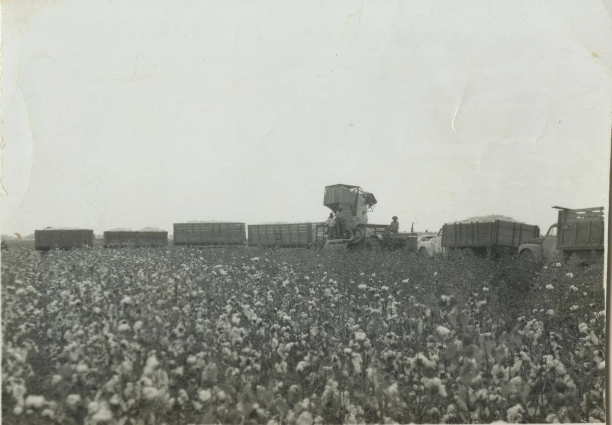 A black and white photograph of a cotton field with several truckloads of cotton