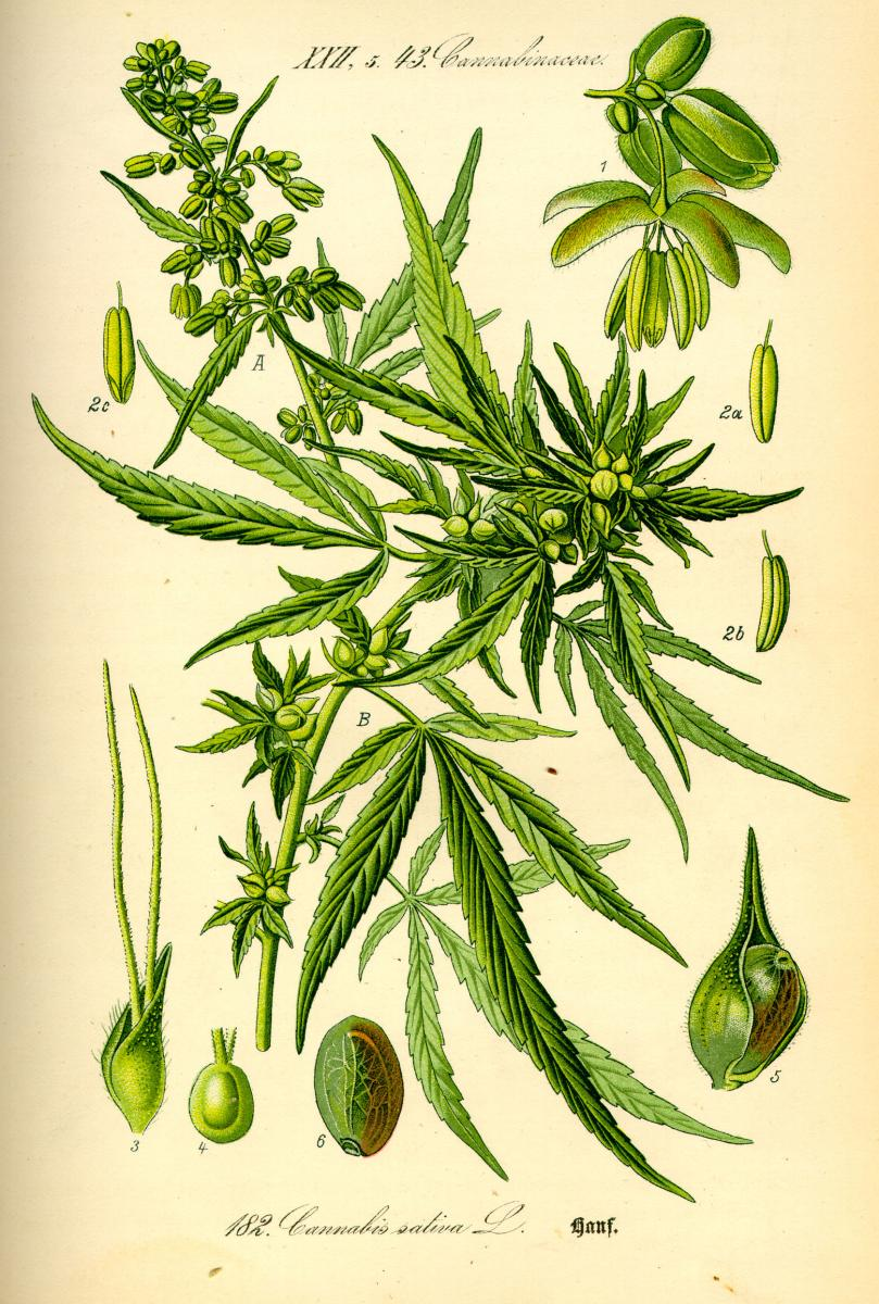 A botanical illustration of Cannabis sativa L. colored in bright green.