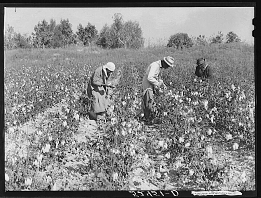 Picking cotton in some of the poorer land, Mississippi Delta, near Clarksdale, Mississippi, November 1939. Photograph by Marion Post Wolcott. Courtesy of the Library of Congress Prints and Photographs Division, loc.gov/pictures/item/fsa2000032878/PP.